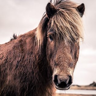 The Icelandic Horse: A Rare & Wonderful Breed